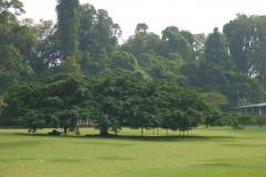 Peranediya -Botanical Garden - Java Baum - Sri Lanka - diekreuzfahrtblogger.de