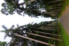 Peranediya -Botanical Garden - Königspalmenallee - Sri Lanka - diekreuzfahrtblogger.de