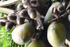 Peranediya -Botanical Garden Kanonen Kokosnüsse - Sri Lanka - diekreuzfahrtblogger.de