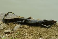 Peranediya -Botanical Garden Riesenleguan- Sri Lanka - diekreuzfahrtblogger.de