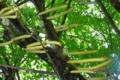 Peranediya -Botanical Garden bei Kandy - Sri Lanka - diekreuzfahrtblogger.de