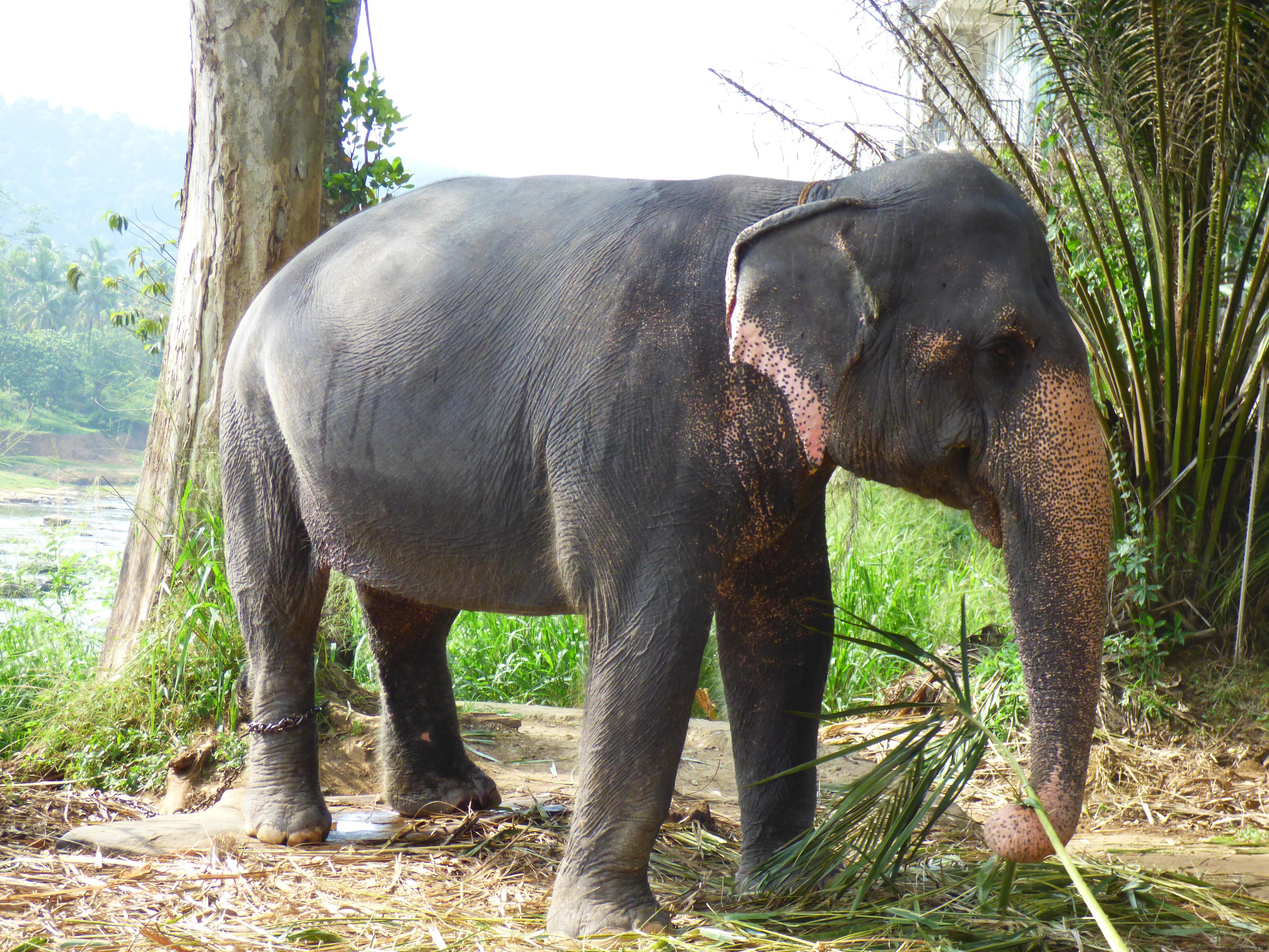 Pinnawela Elefant- Sri Lanka diekreuzfahrtblogger.de