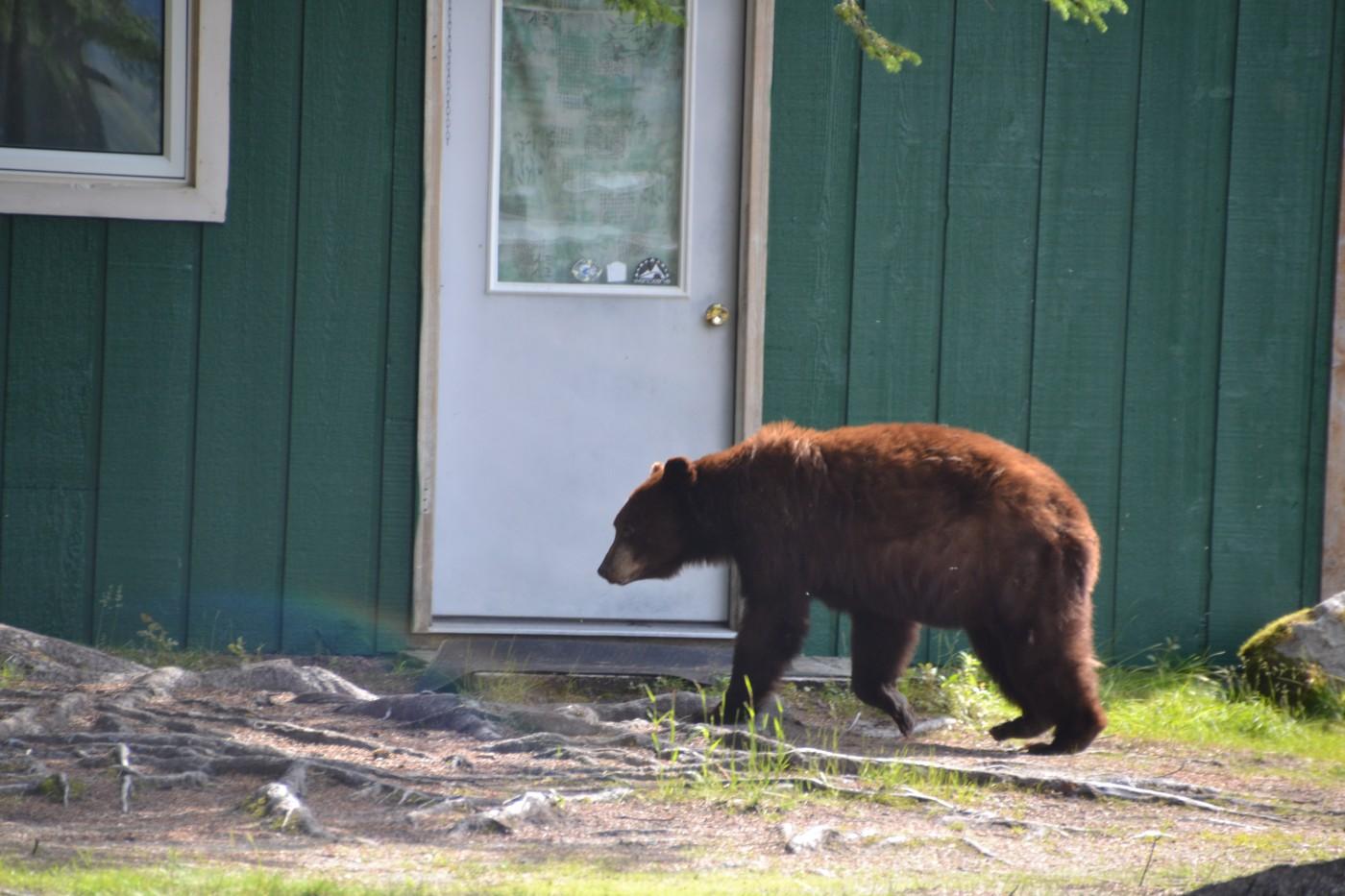 Braunbär bei Taku Lodge Alaska