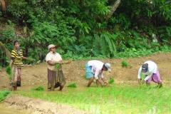 Sri Lanka Frauen auf Reisfelder diekreuzfahrtblogger.de