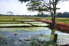 Sri Lanka -Reisfeld diekreuzfahrtblogger.de
